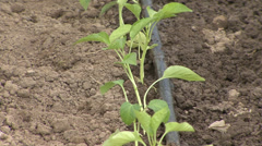 Drip irrigation system - stock footage