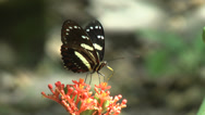 Stock Video Footage of HD Butterfly feeding in Ecuador 3