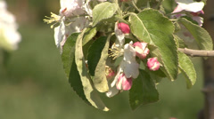 Apple tree blossom and buds Stock Footage