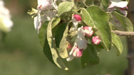 Stock Video Footage of Apple orchard in bloom modern 20