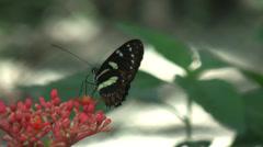 HD Butterfly feeding in Ecuador 4 - stock footage