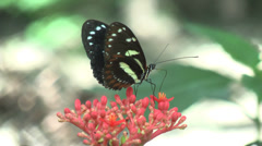 HD Butterfly feeding in Ecuador 2 Stock Footage