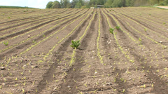 Corn field with young seedlings in spring Stock Footage