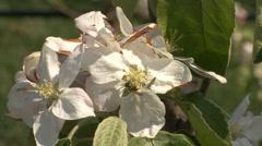 Apple branch flower Stock Footage