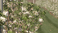 Stock Video Footage of Apple orchard in bloom modern 18