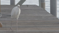 Stock Video Footage of Egret walking on dock