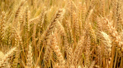 Wheat field. Golden wheat ears in agricultural cultivated field Stock Footage
