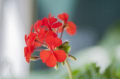 Stock Photo of red geranium