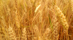 In wheat field. Camera moving through golden ripening wheat ears Stock Footage