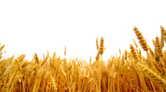 Wheat ears in the agricultural cultivated field over white background Stock Footage
