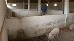 Pigs or swine in the house 5 Stock Footage