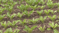 Sugar beet sprouts in rows Stock Footage