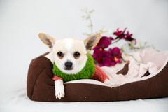 little pedigreed dog - stock photo