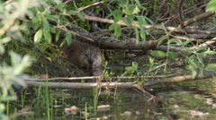 Muskrat comes up from the hole Stock Footage