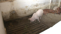 Pigs or swine in the house 6 Stock Footage
