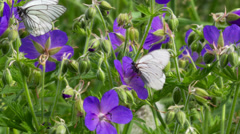 Black-veined white butterfly (aporia crataegi) on blue flowers Stock Footage