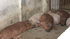 Pigs or swine in the house 3 Stock Footage