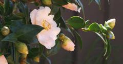 Pink Camellia Flower - 4K (UltraHD) Stock Footage