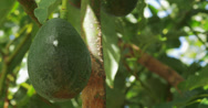 Stock Video Footage of Avocado hanging in a tree 3 - 4K (UltraHD)