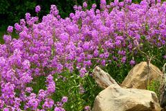 Purple Phlox - stock photo