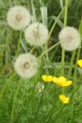 Dandelion puffballs and wildflowers - stock photo