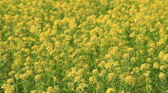 Background of blooming rapeseed field - stock footage