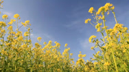 Stock Video Footage of Background of blooming rapeseed field