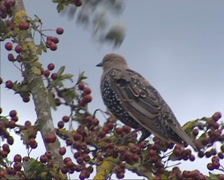 Juvenile starling, sturnus vulgaris, partly moulted, perched on berry branch Stock Footage