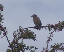 Juvenile starling, sturnus vulgaris, perched on berry branch and flies off Stock Footage