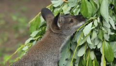 Bennett's wallaby during feeding Stock Footage