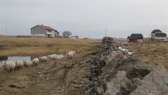 Nordic sheep in Lofoten, Norway Stock Footage