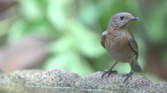 Bluebird Female Stock Footage