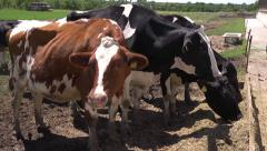 Cows in a farm Stock Footage