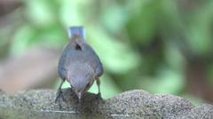 Eastern Bluebird female Stock Footage