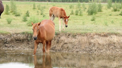 Mare and foal on river Stock Footage