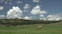 P03682 Pronghorn Antelope Bucks Grazing in Great Plains Stock Footage