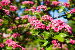 bloosoming pink flowers of hawthorn tree - stock photo