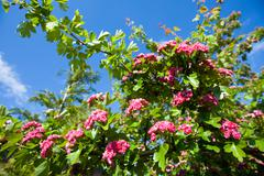 Bloosoming pink flowers of hawthorn tree Stock Photos