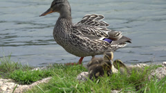 P03681 Mallard Hens and Ducklings - stock footage