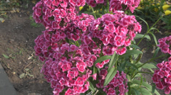 Amazing beautiful purple mauve flowers in nature closeup view in village garden Stock Footage