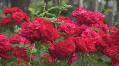 Detail of red roses bouquet outside in nature beautiful blooming in summer days Stock Footage