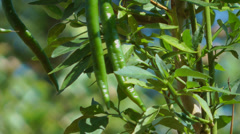 Vegtables green chilli plant Stock Footage