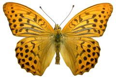 Isolated male Silver-washed Fritillary butterfly - stock photo