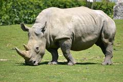 Stock Photo of White rhinoceros grazing grass