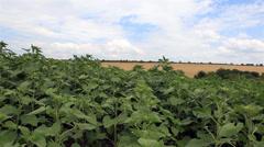 Sunflower field in summer Stock Footage