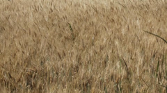 Beautiful wheat field in summer Stock Footage