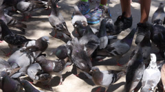 Stock Video Footage of many pigeons feeding in park