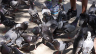 Many pigeons feeding in park Stock Footage