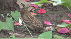 Amazing capture sparrow eating a white butterfly, red rose petals on the ground Stock Footage