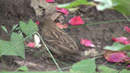 Stock Video Footage of Amazing capture sparrow eating a white butterfly, red rose petals on the ground